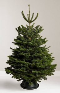 Real Nordmann Fir Christmas tree by Carvers Trees in Clayton-le-Woods